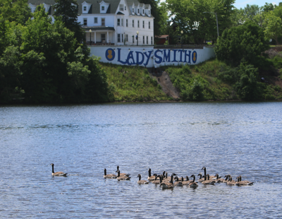 City council votes to remove geese from Ladysmith parks