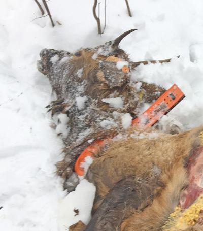 Elk death