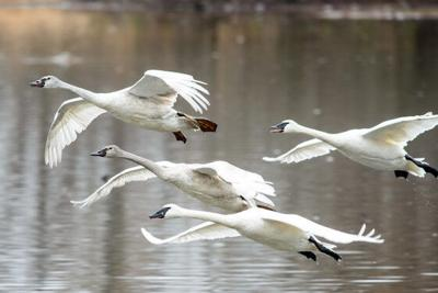 Family of trumpeter swans in flight