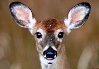Bonus Antlerless Deer Harvest Authorizations On Sale In August