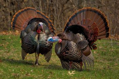 Hunt Safely This Spring Turkey Season