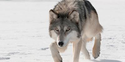 Wisconsin's wolf population remains healthy, stable
