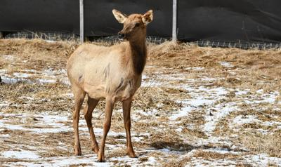 Four Wisconsin Hunters Drawn For State's Third Managed Elk Hunt