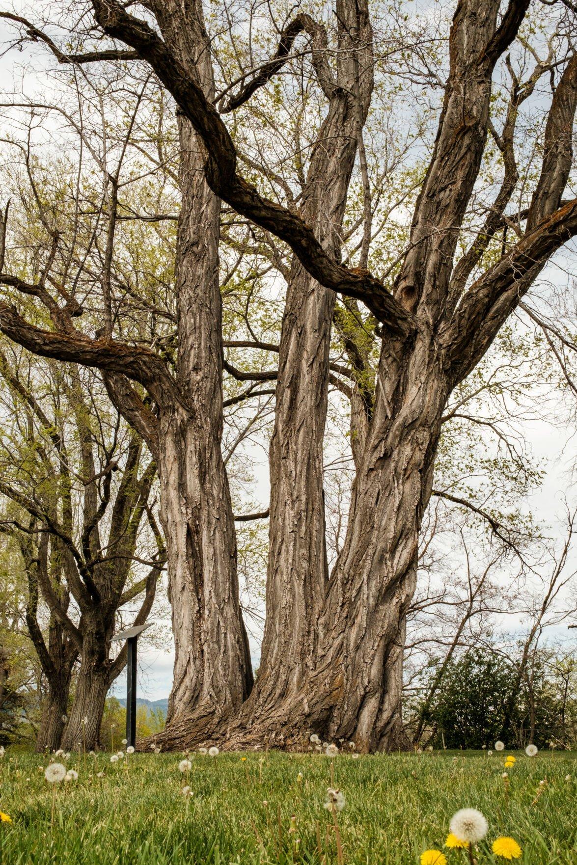 Baker Black Locust Tree