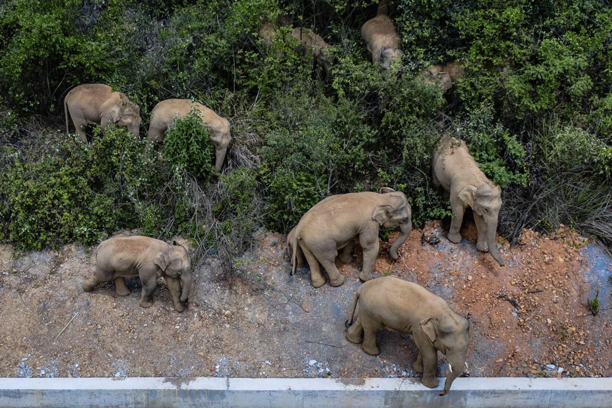 China Wandering Elephants.jpg