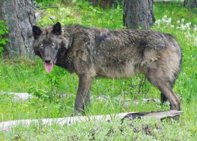 ODFW Wolf.jpg
