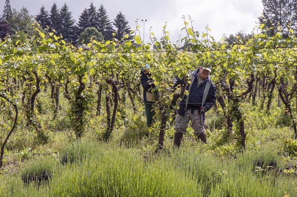 Farmworkers at Willamette Valley Vineyards in Turner.jpg
