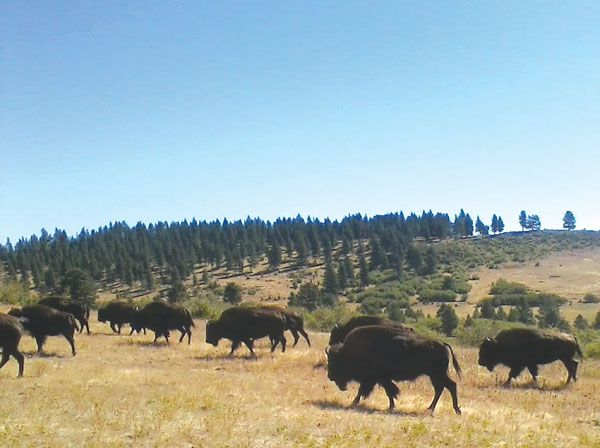 New owner to move troublesome bison