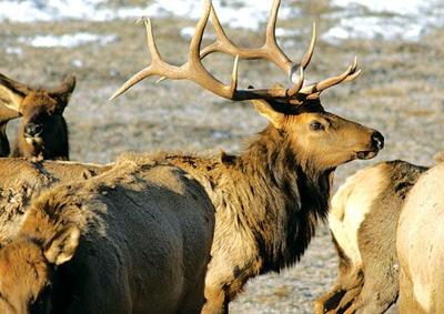 Archery season — elk