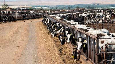 Dairy cows feed in Sunnyside, Wash., Monday, July 23, 2018.jpg