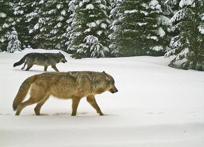 Walla Walla Pack wolves.jpg