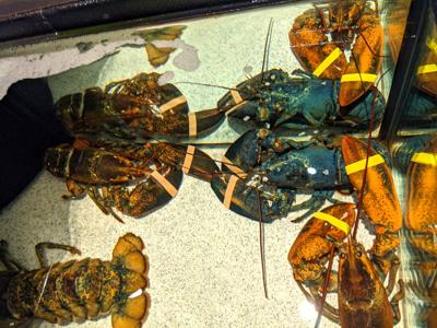 Akron Zoo blue lobster.jpg