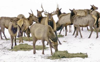 Rocky Mountain elk munch alfalfa at the Elkhorn Wildlife Area.jpg