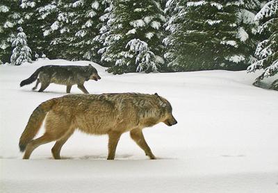 Walla Walla Pack wolves.jpg (copy)