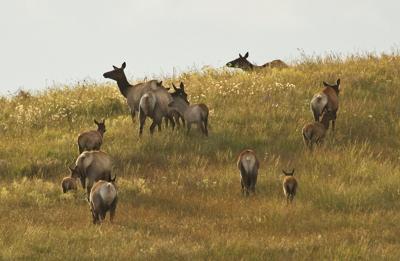 Elk herd on Zumwalt Prairie 2020