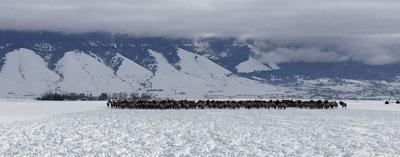 Elk depredation 2