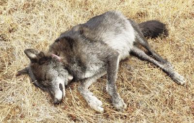 dead wolf.jpg