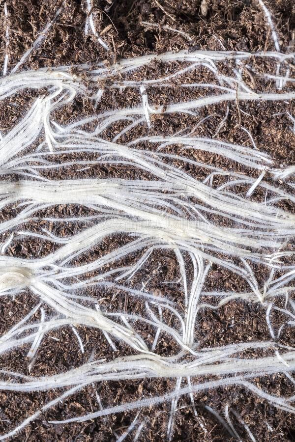 white-roots-plants-sprouted-dark-soil-close-up-photograph-agricultural-field-cereal-137547721.jpg