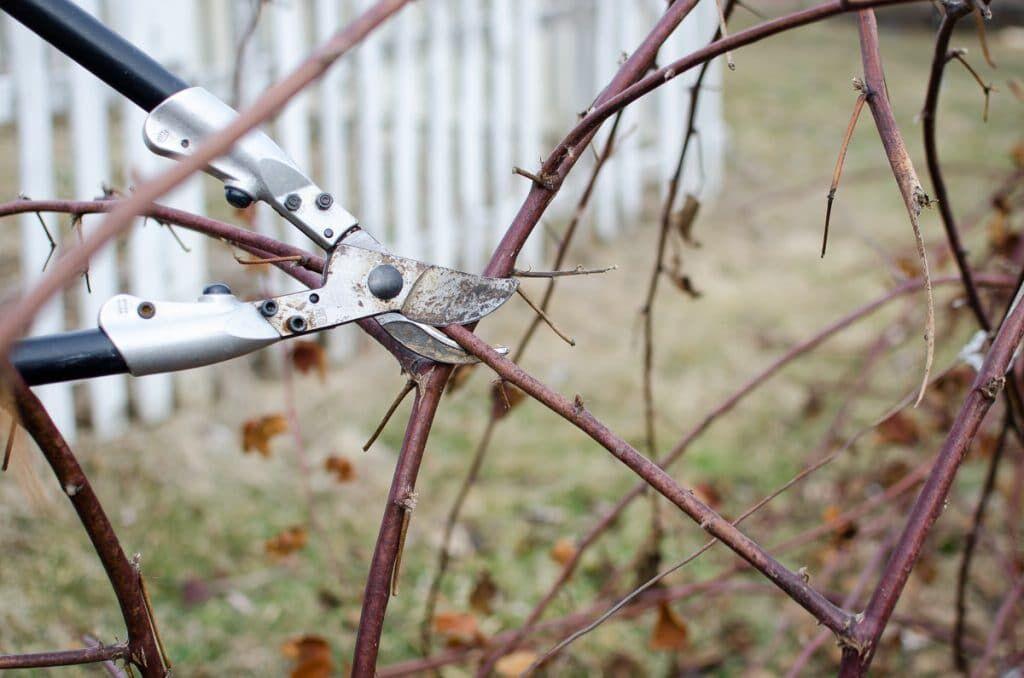 Blackberry-Pruning-6.jpg