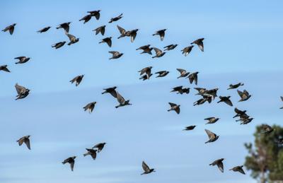 Starlings_9044_20200203.tif