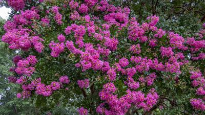 Southern Crapemyrtle