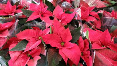 Poinsettias make a great holiday gift
