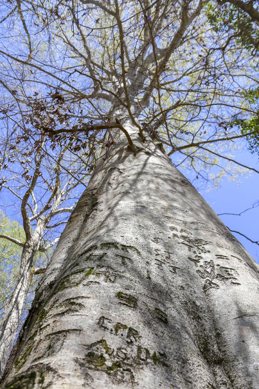 Horseshoe Bend tree witnessed historical battle