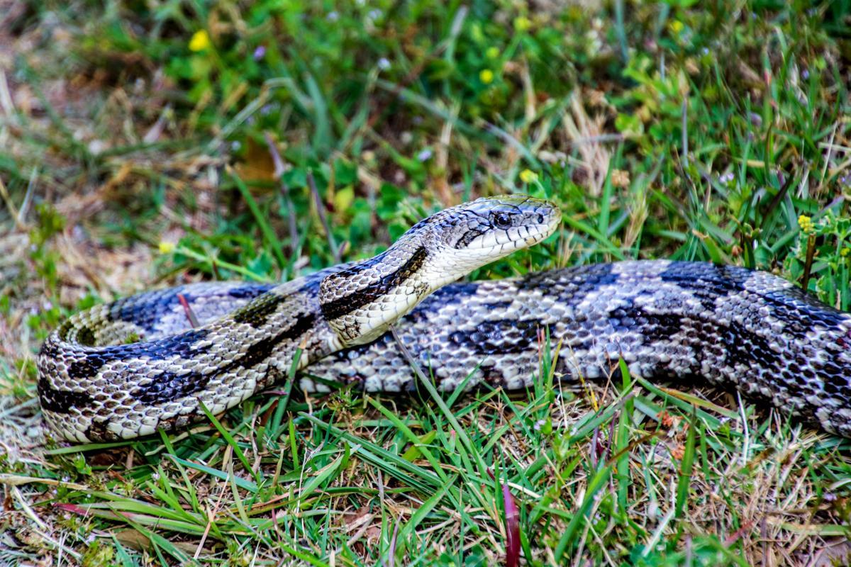 Gray Rat Snake.jpg