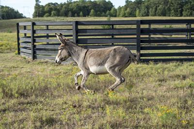 Donkey at Ridge