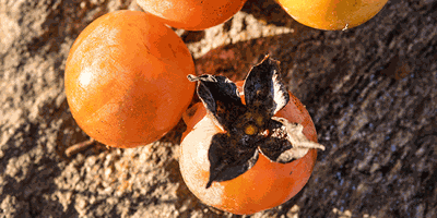 Nature of the Lake: American Persimmon