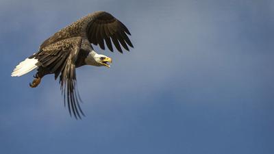 Eagle numbers soar