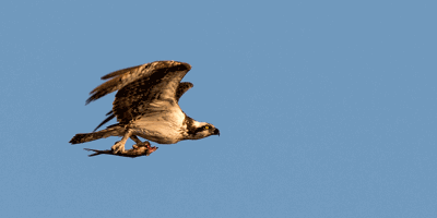 Nature of the Lake: Ospreys