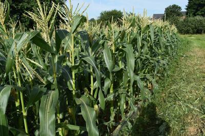 LF20180630-Sweet-Corn- 022.JPG