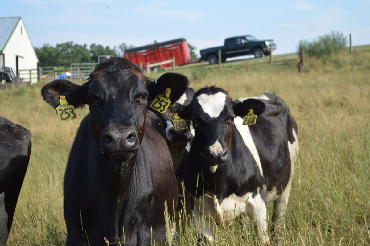 Dairy Heifers and Flies