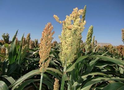ARS Scientists Develop Higher Yielding Sorghum Plants