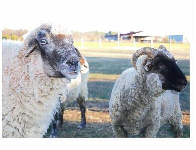 Rare Hog Island Sheep Keep Alive a Piece of the Past