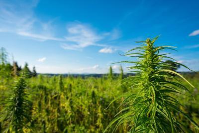 Cannabis farm field view