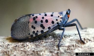 Work to Stop Spotted Lanternfly Continues