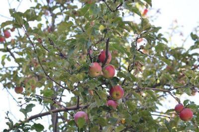LF20190601-Apples-1.jpg