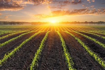 Sunrise over a Corn Field - background