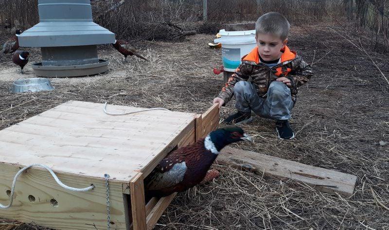 pheasant-6.jpg