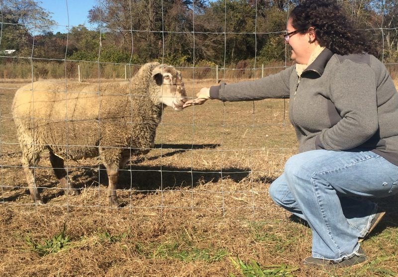 couple do their part to preserve historic sheep breed southern