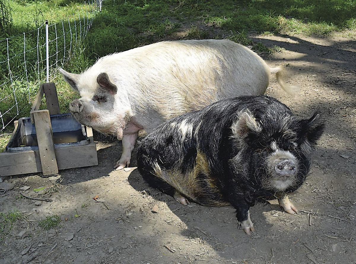 kunekune pigs fit small food production latest news in livestock