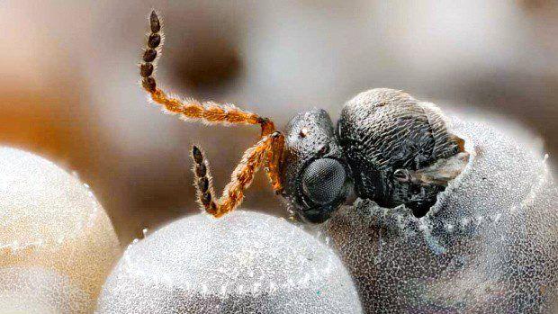 Samurai-Wasp-2.jpg