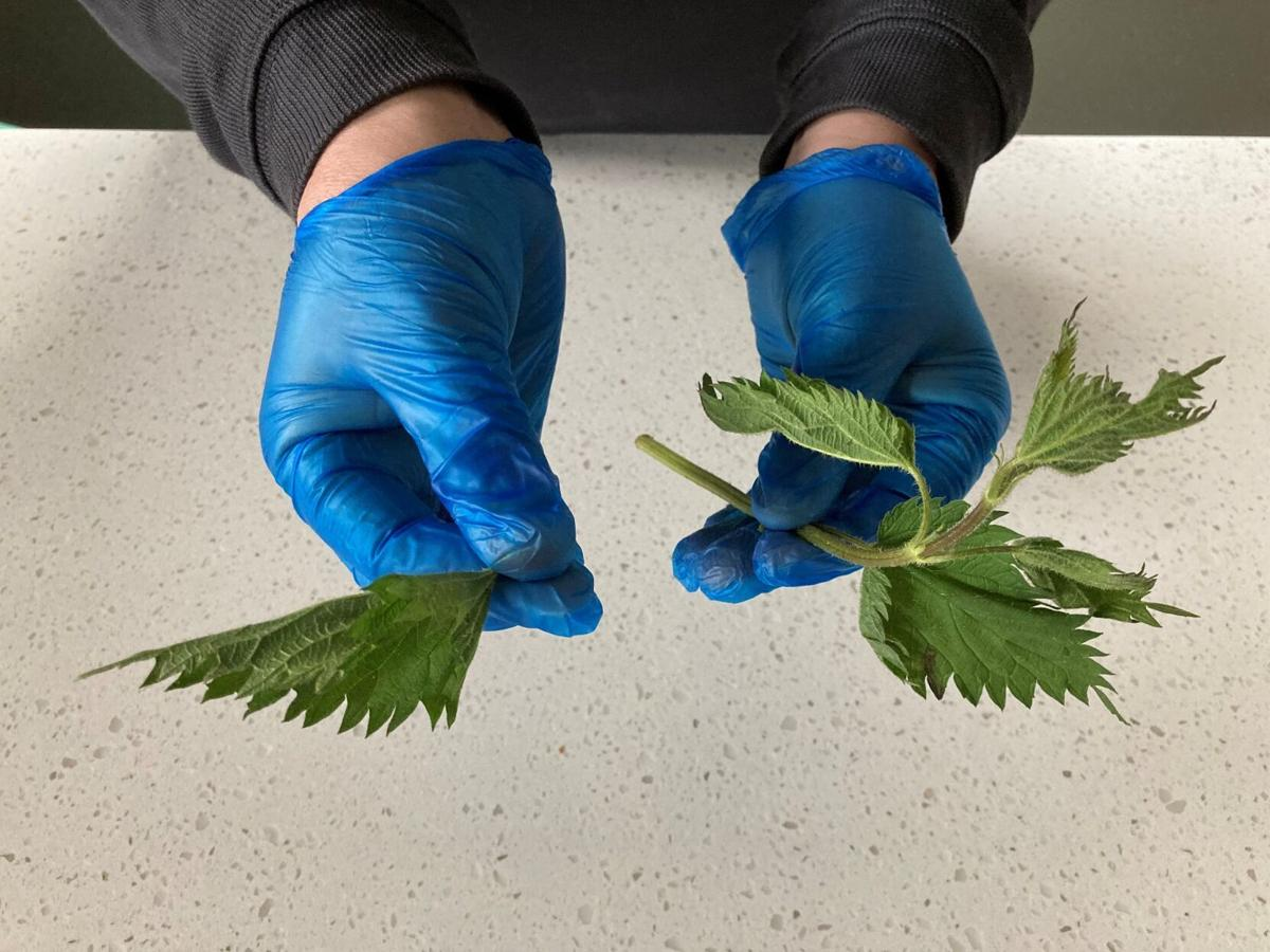 Stinging nettles with gloves