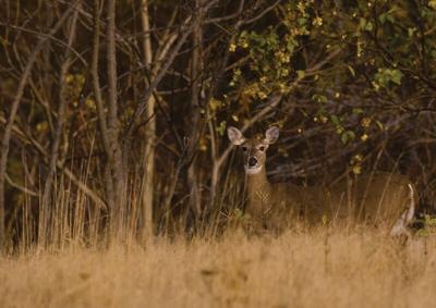 Venison-deer2.tif