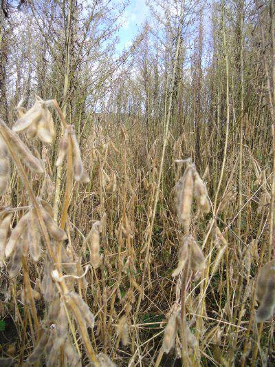 Horseweeds 3.jpg