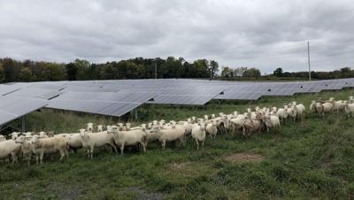 LF20210116-Solar-Sheep.jpg