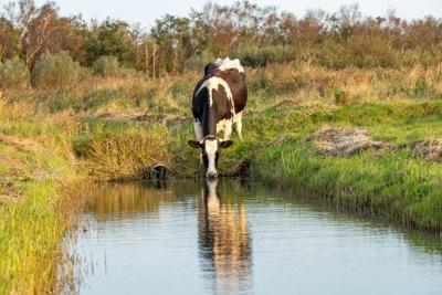 cow drinking stream creek chesapeake bay