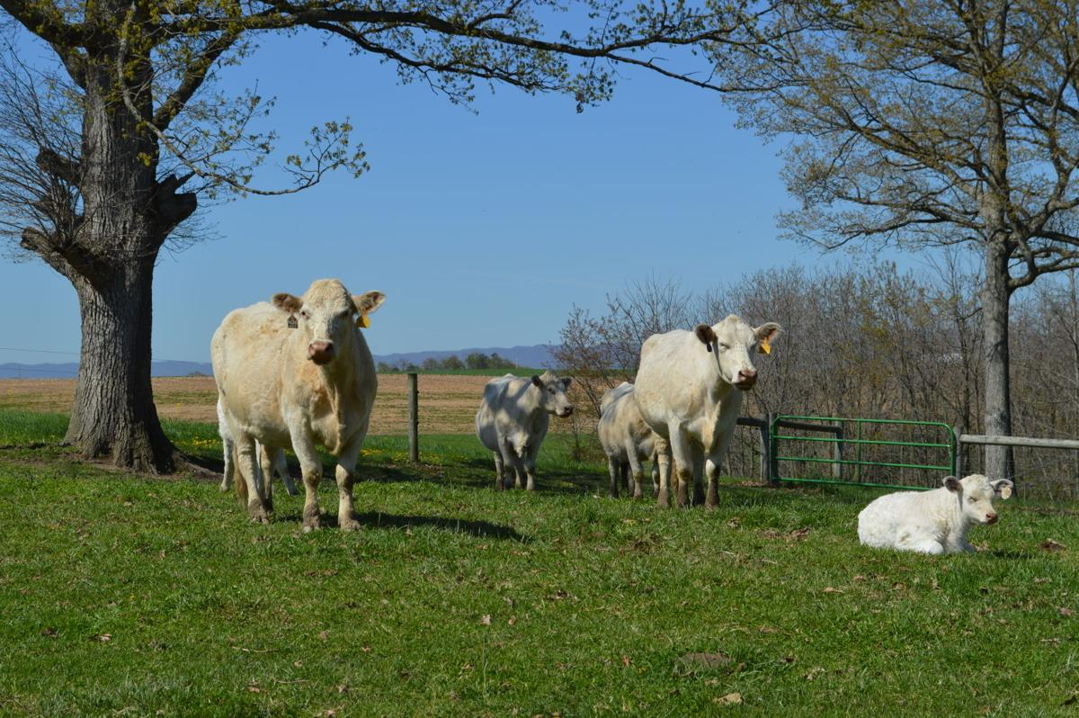 How to Read Market Reports - Part 8: Cattle Terms | Market